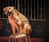 Beautiful roaring lioness — Stock Photo