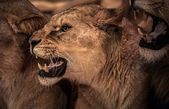 Beautiful roaring lioness — Stock Photo