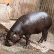 Hippopotamus - Foto Stock