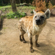 Close-up shot of a hyena - Foto Stock