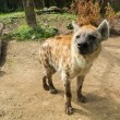Close-up shot of a hyena - Stock Photo