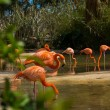 Pink flamingos - Foto de Stock