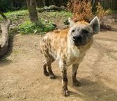 Close-up shot of a hyena — Stock Photo