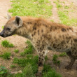 Close-up shot of a hyena - Foto de Stock
