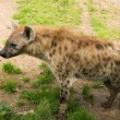 Close-up shot of a hyena - Lizenzfreies Foto