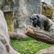 Gorilla walking in the zoo — Stock Photo #23345752