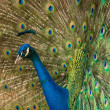 Close-up shot of a peacock - Stock Photo