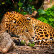 Gorgeous leopardess in natural habitat — Stock Photo