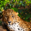 Close-up shot of a gorgeous leopardess - Stockfoto
