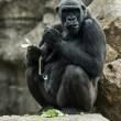 Big black gorilla  sitting on the rock and eating - Stock Photo