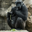 Stock Photo: Big black gorilla sitting on the rock and eating