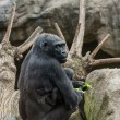 Black gorilla with her baby - Stock Photo