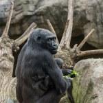 Black gorilla with her baby — Stock Photo