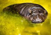 Hippopotamus swimming in a water — Stock Photo