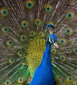 Close-up shot of a peacock — Stock Photo