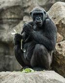 Grande gorila preta sentado na pedra e comer — Foto Stock