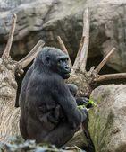 Gorila preta com seu bebê — Foto Stock