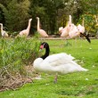 White swan will black neck against group of pink flamingos - Stock Photo