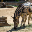 Zebra eating hay in a zoo - Stok fotoğraf