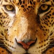 Close-up shot of a gorgeous leopard - Stockfoto