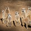 Stock Photo: Clan of beautiful meerkats