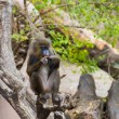 Mandrill sitting on a tree - Stock Photo