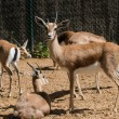 Group of antelopes in a zoo — Stock Photo #24040863