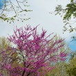 Tree with beautiful purple flowers - 图库照片