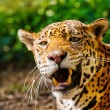 Close-up shot of a gorgeous roaring leopard - Foto Stock