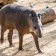 Tapir walking in a zoo - Stock Photo