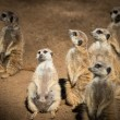 Clan of beautiful meerkats - Stok fotoğraf