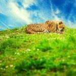 Beautiful cheetah lying on a daisy meadow against blue sky — Stock Photo