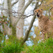 Beautiful cheetah  in natural habitat — Stock Photo