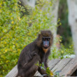 Mandrill sitting on a log — Stock Photo #24040941