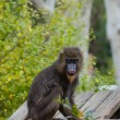 Mandrill sitting on a log - Stock Photo