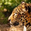 Close-up shot of a gorgeous leopard — Stock Photo #24040967