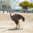 Ostrich in a zoo - Stock Photo