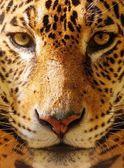 Close-up shot of a gorgeous leopard — Stock Photo