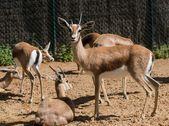 Grupp av antiloper i en djurpark — Stockfoto