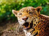 Close-up shot van een prachtige brullende luipaard — Stockfoto