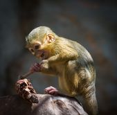 Little funny gabon talapoin — Stock Photo