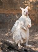 White wallaby in a zoo — Stock Photo