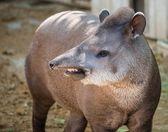 Close-up shot of a tapir — Stock Photo