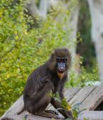 Mandrill sitting on a log — Stock Photo