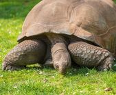 Galapagos tortoise on a green meadow — Stock Photo