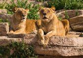 Schlepptau wunderschöne Löwin im natürlichen Lebensraum — Stockfoto