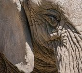 Close-up shot of an elephants eye — Stock Photo