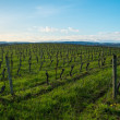 Vineyard view on a beautiful spring day — Stock Photo