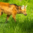 Maned wolf in a green grass — Stock Photo