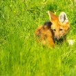 Maned wolf in a green grass — Stock Photo #25852541